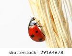 ladybug on wheat - stock photo