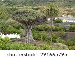 Millenarian Dragon Tree  Icod...