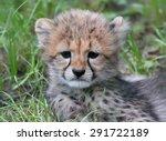 Close Up View Of A Cheetah Cub...