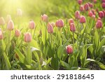 Red   Beautiful Tulips Field I...