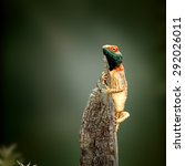 Small photo of Male ground agama (Agama aculeata) sunbathing on tree stump - Kgalagadi Transfrontier Park (Fine art)
