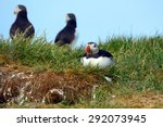 atlantic puffins  farne islands ... | Shutterstock . vector #292073945