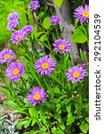 Small photo of Flowering plants Alpine Aster (Aster alpinus)