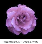 Violet Rose Flower Macro...