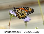 Monarch Eating Nectar From A...