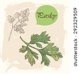 parsley herbs vector sketch on... | Shutterstock .eps vector #292329509