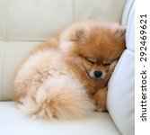 Pomeranian Dog Cute Pets...