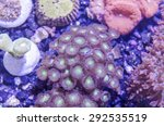 Small photo of This is macro photograph of a rainbow Acanthastrea lordhowensis coral colony.