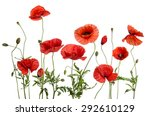 Red Poppies  Isolated On White...