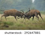 Two Red Deer Stags Fighting In...