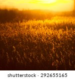 some long reeds in a pond at... | Shutterstock . vector #292655165