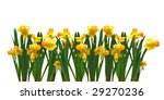 narcissus in row isolated on...   Shutterstock . vector #29270236