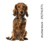 Dachshund In Front Of White...