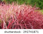Variegated Red Fountain Grass