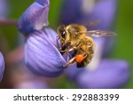 Bee Sitting On A Lupine Flower