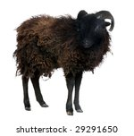 black sheep   ouessant ram  4... | Shutterstock . vector #29291650