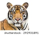 Young Tiger Isolated On White...