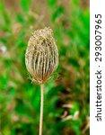 Small photo of desert wild flower rampion