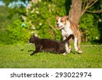 Stock photo cat crossing the road in front of a dog running after a ball 293022974