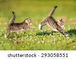 Stock photo two little funny kittens playing outdoors in summer 293058551