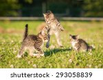 Stock photo little funny kittens playing outdoors in summer 293058839