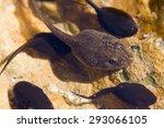 Macro Image Of Frog Tadpoles I...