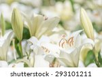 white lily | Shutterstock . vector #293101211