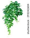 Green Ivy Plant  Nature Vine...
