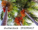 palm fruit on the tree. | Shutterstock . vector #293390417