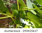 figs on the branch of a fig tree | Shutterstock . vector #293415617