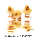 Little Yellow Fluffy Ducklings...