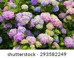 Beautifull Blooming Hydrangea...
