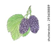 mulberry. hand drawn berries.... | Shutterstock .eps vector #293608889