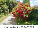 Beautiful Red Roses Bush In...