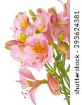 Small photo of Alstroemeria ( Lat. Alstroemeria) from the family Alstremerievye. Isolated on white background