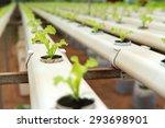 hydroponic vegetables growing... | Shutterstock . vector #293698901