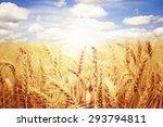 field of wheat blue sky and sun.   Shutterstock . vector #293794811