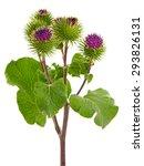 Burdock Plant  Arctium Lappa  ...
