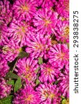 Small photo of Trifolium pretense. Can be used as background