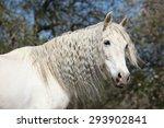 Amazig White Andalusian Mare...