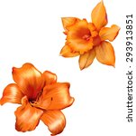 Orange Lily Flower. Daffodil...