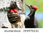 Pileated Woodpecker With A...