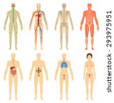 set of human organs and systems ... | Shutterstock .eps vector #293975951