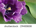 Beautiful purple tulip with tulip leaves as background.  Macro with shallow dof. - stock photo