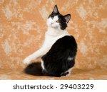 Pretty Norwegian Forest Cat...