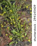 Small photo of Adderstongue Spearwort - Ranunculus ophioglossifolius Known locally as the Badgeworth Buttercup