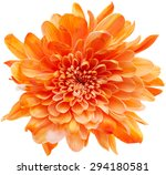 Beautiful Chrysanthemum Flower...
