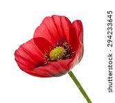 Closeup Of Red Opium Poppy...