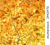 Small photo of Close-up of American Beech tree branches covered with bright yellow Fall leaves.