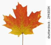sugar maple leaf in fall color... | Shutterstock . vector #2943034